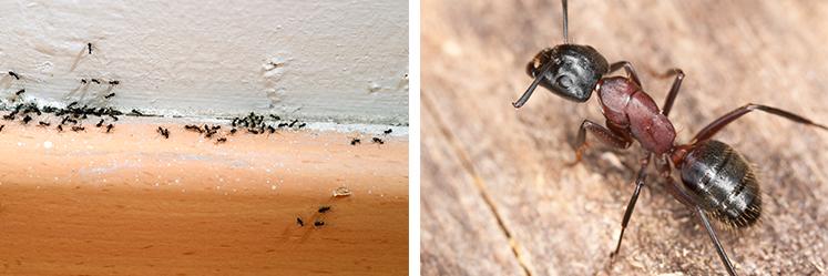 Mustamuurahaisia ja hevosmuurahaisia
